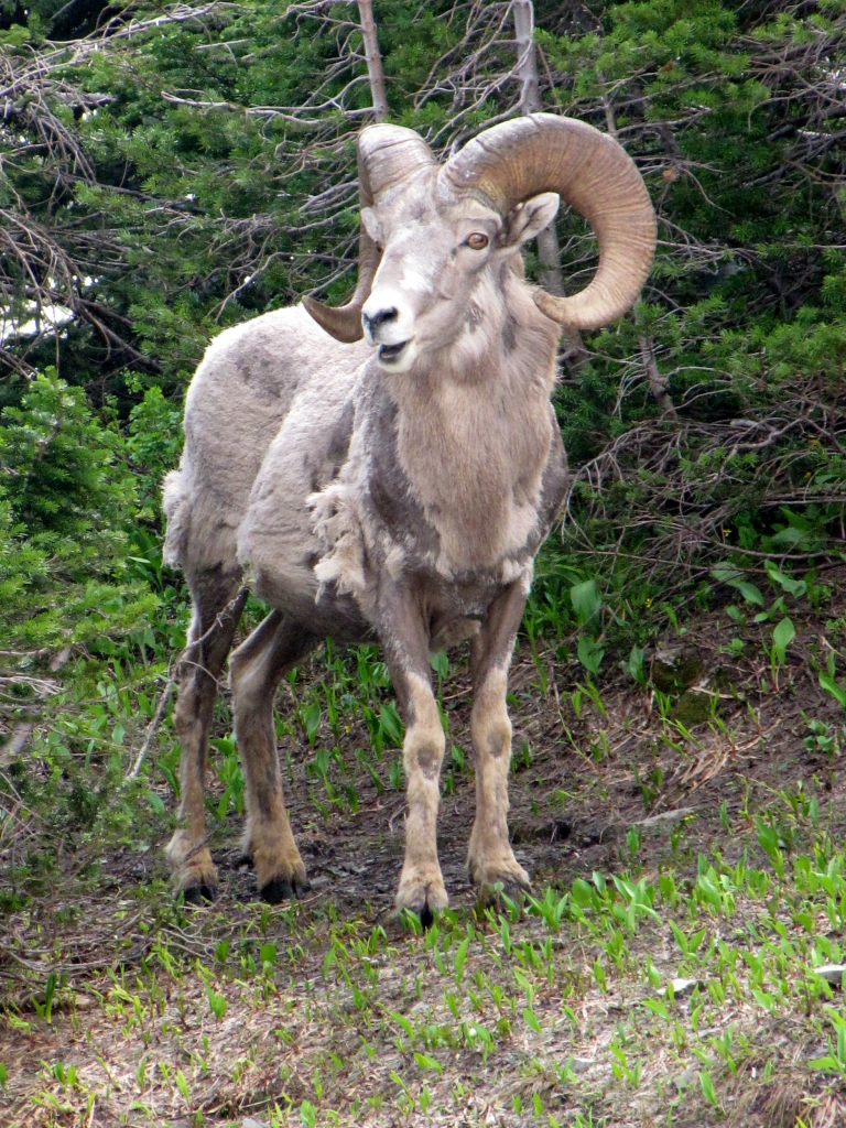 Rams at Logan Pass are still shedding, while the rams on Wild Horse Island look sleek in their summer coats.