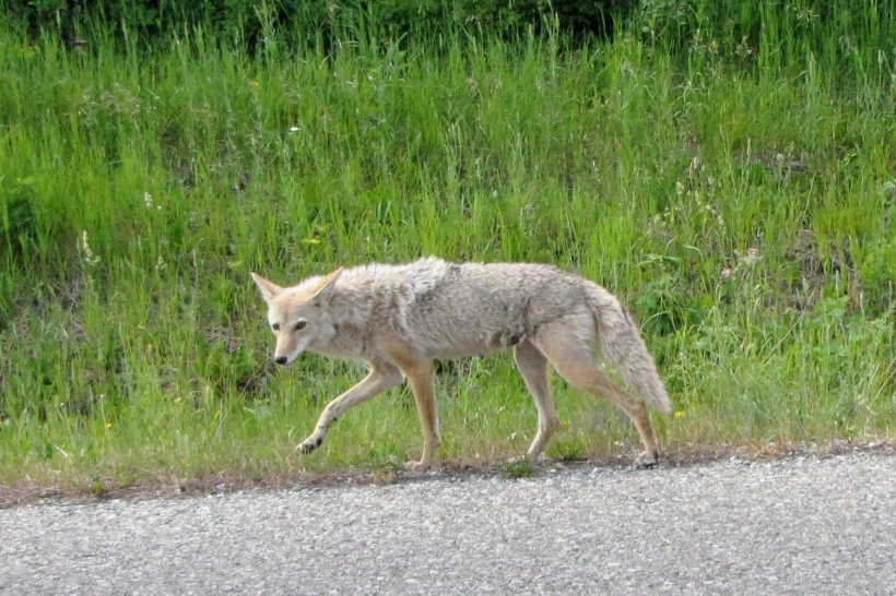 This skinny  coyote was licking a tasty spot in the middle of the hot road, oblivious to the traffic she'd stopped.